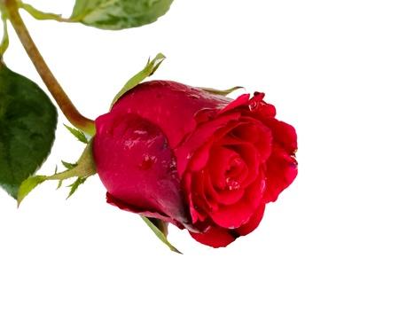 白い背景の上の単一の赤いバラ