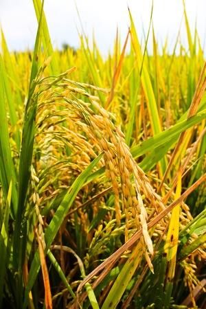 緑の水稲のクローズ アップ