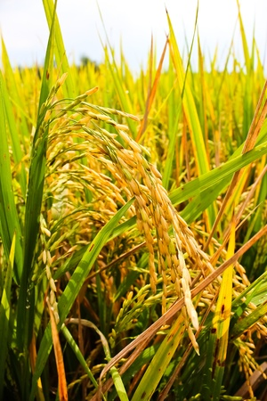 Close up of green paddy rice