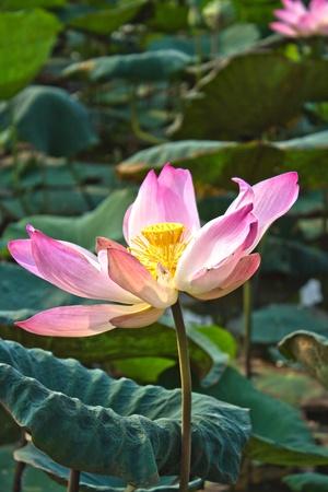 nelumbinis: lotus flower and seedpod Stock Photo