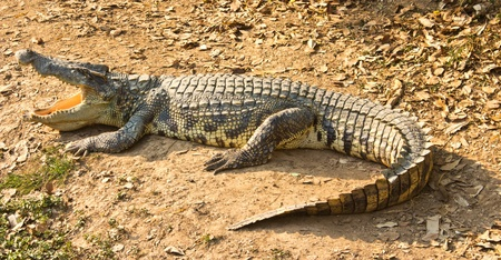 Crocodile from the side view