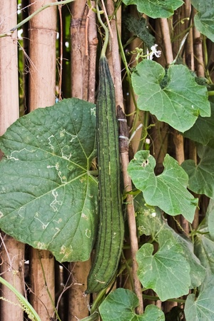 zucchini  Thai strains  Stock Photo - 12756689