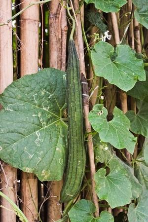 strains: zucchini  Thai strains