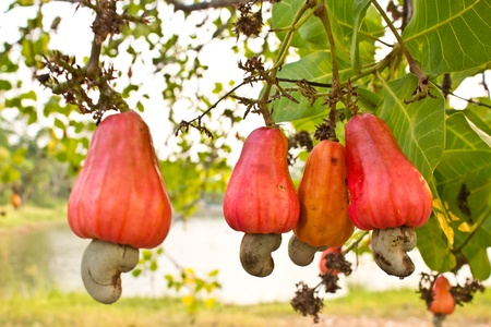 cashew tree: Cashew nuts growing on a tree  This extraordinary nut grows outside the fruit  Stock Photo