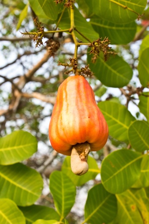 Cashew nuts growing on a tree  This extraordinary nut grows outside the fruit   photo