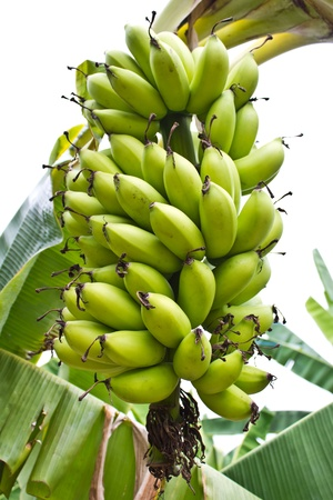 Close up shot of a head of bananas on a banana tree  Stock Photo - 12890821