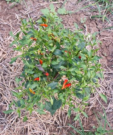 Pepper plantations Stock Photo - 13013500