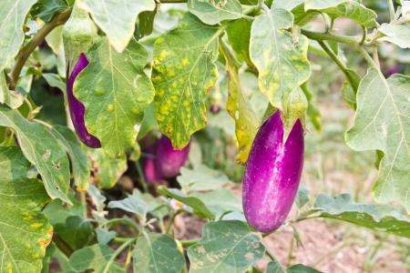 Eggplant vegetable in garden Stock Photo - 13013490