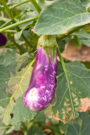 Eggplant vegetable in garden  Stock Photo - 13013489