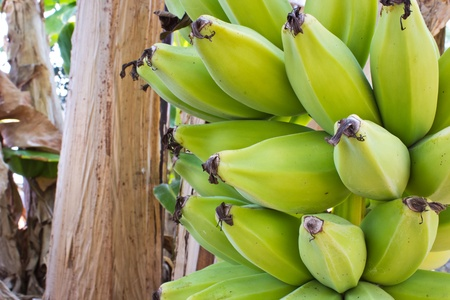 close up young green banana on tree Stock Photo - 13260610