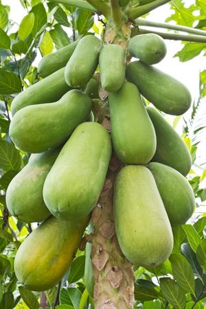 Many papaya on the tree Stock Photo - 13496422