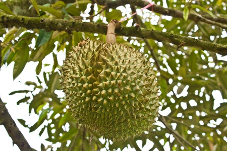 Fresh durians, the king of fruit on the tree, and good taste Stock Photo - 13439021