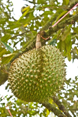 Fresh durians, the king of fruit on the tree, and good taste  photo