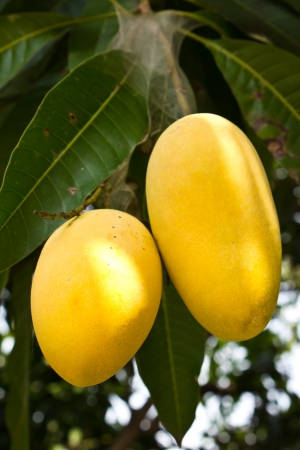 Mango tree with yellow fruits