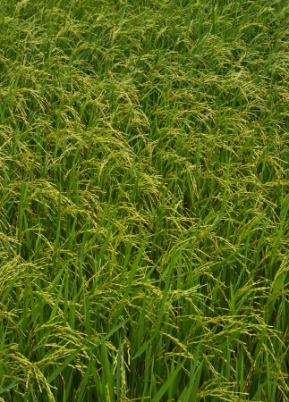 paddy rice in field Stock Photo - 13863936