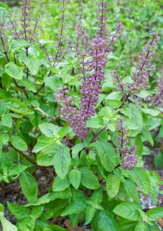 Fresh Thai or Asian sweet basil It is an herb  photo