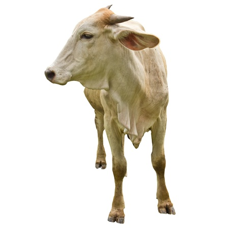 Thai native cattle on whiteground photo