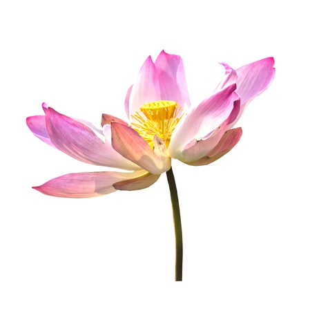 lotus purple flower and pod isolated on white photo