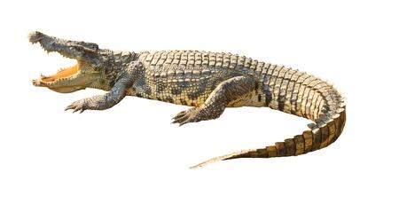 Crocodile dangereux bouche ouverte