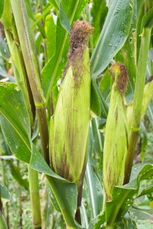 Cob of Corn Growing in Corn Field Stock Photo - 14870828