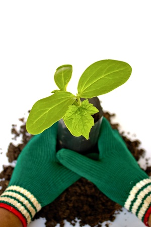 Planting young plant  in the soil on white Stock Photo - 15046191
