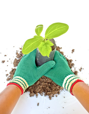 Planting young plant  in the soil on white Stock Photo - 15046188