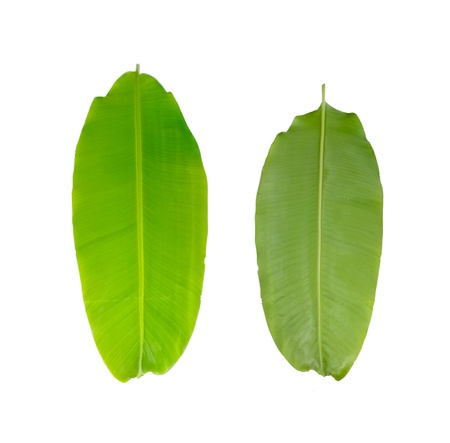 Green fresh banana leaf isolated  on  white background