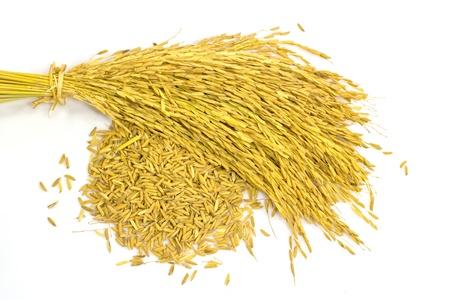 paddy jasmine rice on white background Stock Photo - 16138339