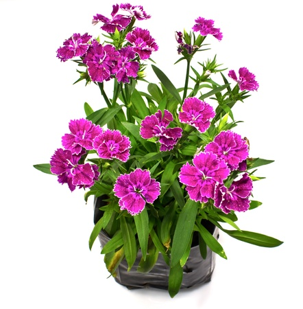 Nursery bags with dianthus flowers  isolated on white background Stock Photo - 17241002
