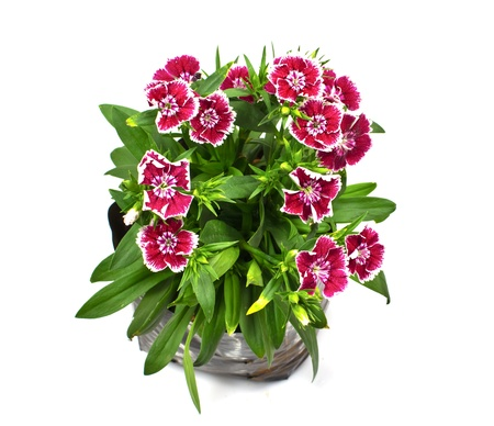 Nursery bags with dianthus flowers  isolated on white background Stock Photo - 17241005