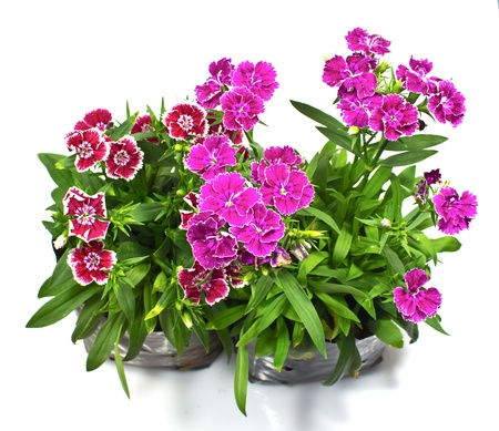 Nursery bags with dianthus flowers  isolated on white background Stock Photo - 17241007