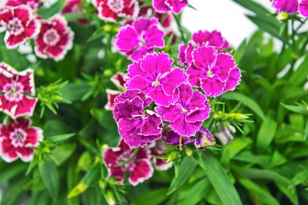 Flowerbed of Dianthus barbatus Stock Photo - 17241008