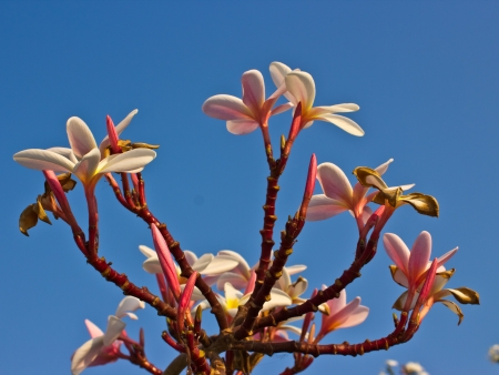 Branch of tropical flowers frangipani (plumeria) on blue sky photo