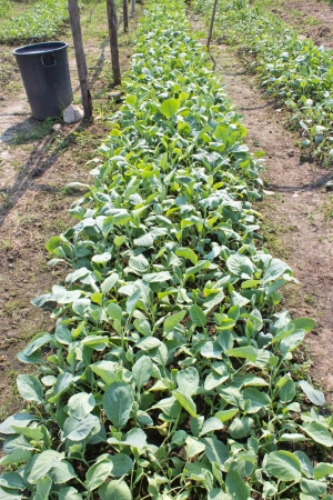 Convert Kale (Brassica alboglabra).It is safe for consumers. photo