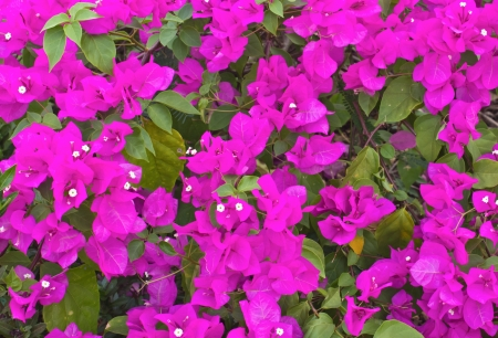 Purple bougainvillea flower with leaves background photo
