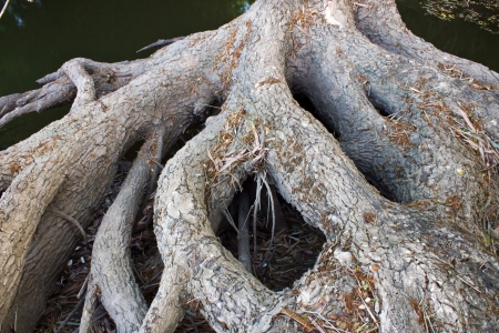Large tree roots in tropical forest near river photo