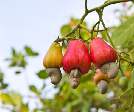 extraordinary: Cashew nuts growing on a tree This extraordinary nut grows outside the fruit