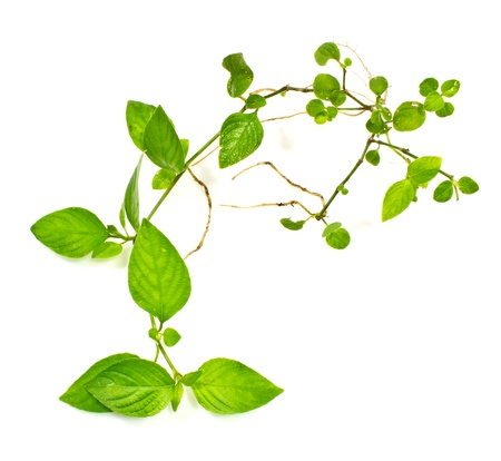 Image of the branch is ivy on a white background