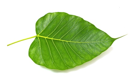 Green bodhi leaf vein on white background Фото со стока