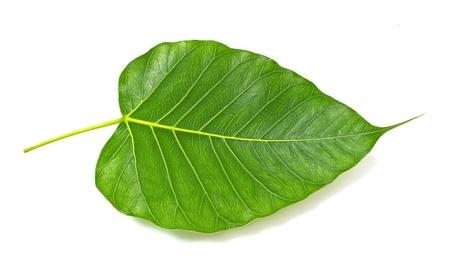feuille arbre: Vert veine de la feuille bodhi sur fond blanc Banque d'images
