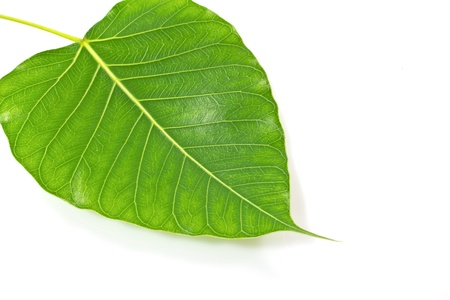 Green bodhi leaf vein on white background Stock Photo