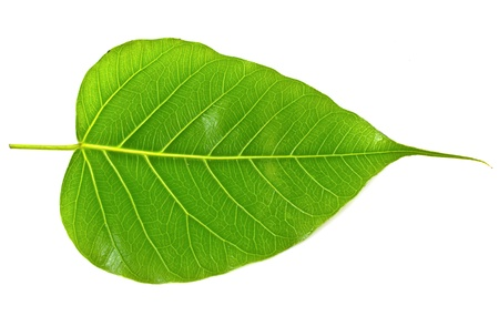Green bodhi leaf vein on white background photo