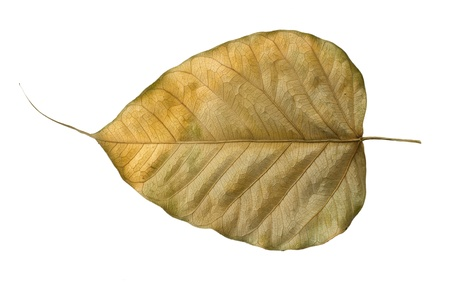 buddhist structures: Dry Bo leaves isolated on a white Stock Photo