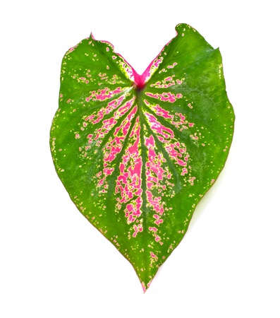 bicolor: a Caladium leaves on a white background