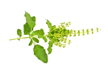 Blossoming basil on a white background