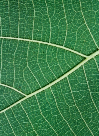Green Teak leaf close up (Leaves behind.) photo