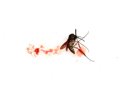 mozzie: blood sucking mosquito squished on white background