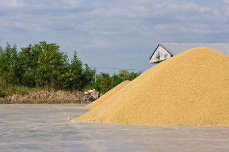 dring: Stack paddy rice on a dring  Stock Photo