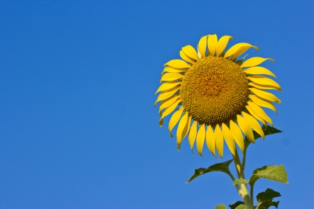 Sunflower on a background of blue sky. The bright colors of summer photo