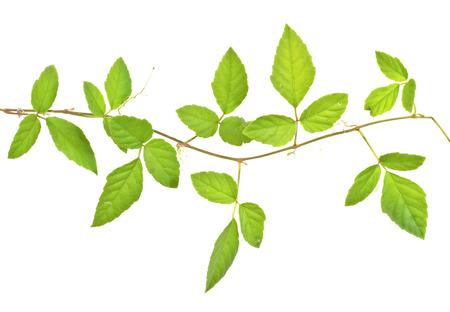 白い背景で隔離のツタの枝 写真素材